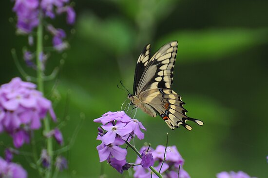 Giant Swallowtail- Papilio cresphontes by Lynda   McDonald