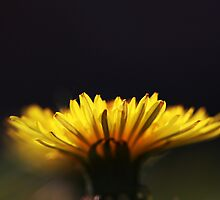 Dandelion by nicklayton