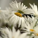 Daisies by Annie Lemay  Photography