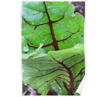 Beetroot leaves Poster