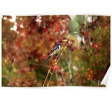 Blue Bird Enjoying Fall Color Poster