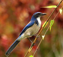Blue Bird Enjoying Fall Color Sticker