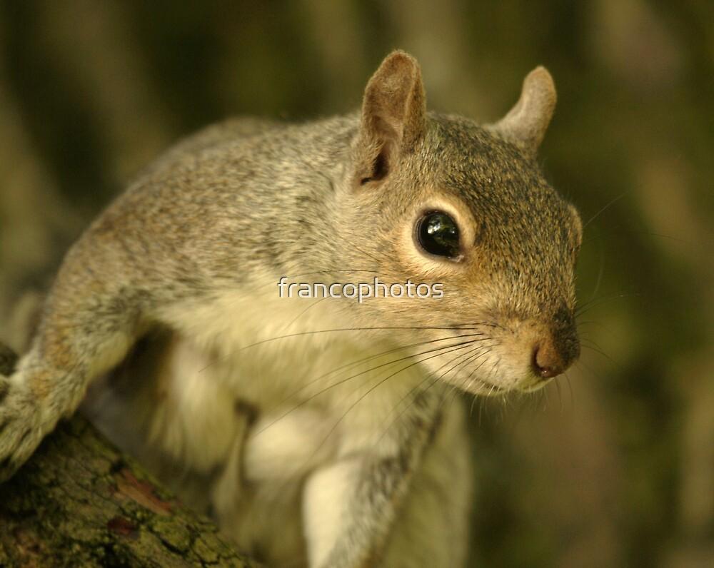 Grey Squirrel by Franco De Luca Calce