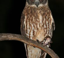 Boobook Owl with dinner by ChrisCoombes