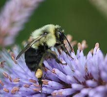 Bee on perennial by zahnartz