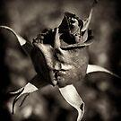 Rose by Kostas Pavlis