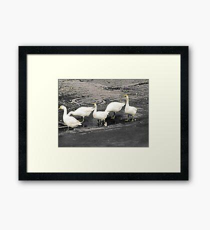 Marching ducks Framed Print