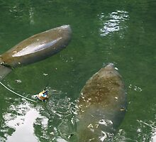Manatees in Blue Springs by twinmoon