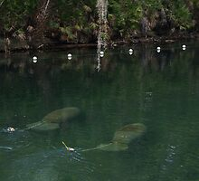 Manatees at Blue Springs by twinmoon