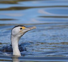Australian pied cormorant by JayWolfImages