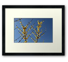 yellow flowers forthysia  Framed Print