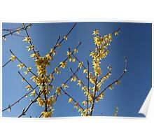 yellow flowers forthysia  Poster