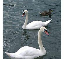 Swiss Swans Photographic Print