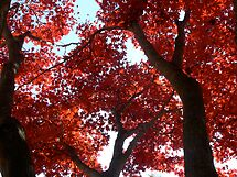 Magnificent Maple by Nicole Remolde