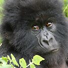 Mountain Gorilla by ApeArt