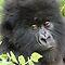 ENDANGERED SPECIES - Gorillas