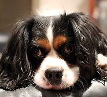 King George Cavalier by BBCsImagery