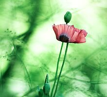 Poppy Square by DavidYates