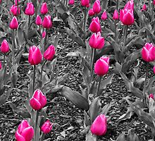 Pink Tulips by Sandy Keeton