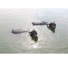 Cattle swimming in the Badami tank Photographic Print