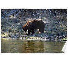 """Cinnamon"" Black Bear - Reflection Poster"