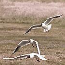 Black Headed Gulls by dsargent