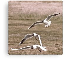 Black Headed Gulls Canvas Print
