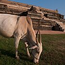 Grazing cow at Hampi by Syd Winer