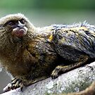 Pygmy Marmoset by Wayne Gerard Trotman