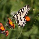 Butterfly by Kimberly Palmer