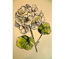 White pelargonium. Pen and wash on paper. Photographic Print