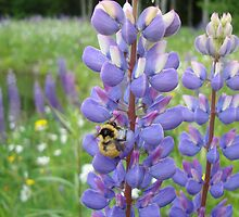 Busy Bee in the Meadow, Purple Lupins in Vermont by Michele Ford