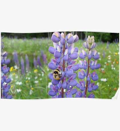 Busy Bee in the Meadow, Purple Lupins in Vermont Poster