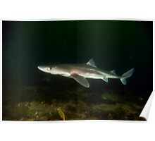 Spiny Dog Fish Poster