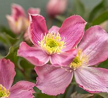 Pink clematis flowers by Judi Lion