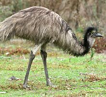 Young Emu by Rachael Taylor
