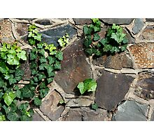Stone wall and Ivy Photographic Print