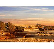 Sheep Grazing at Sunset - Kanmantoo, South Australia Photographic Print