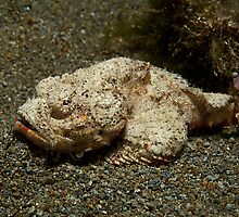 Devil Scorpionfish by Marcel Botman