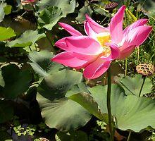 Lotus Pond in Murni's Villas, Bali  by JonathaninBali