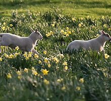 Spring Lambs #2 by Christopher Cullen