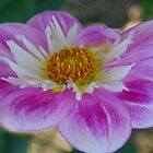 Dahlia, simple, sweet and serene.  by Lozzar Flowers & Art