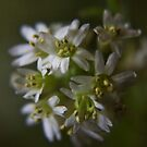 White and White (from wild flowers collection) by Antanas