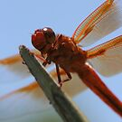 Smiling Dragonfly Iphone Case by DARRIN ALDRIDGE