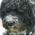 Zarco, Portuguese Waterdog by Susanne Correa