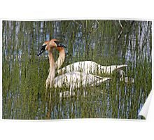 Trumpeter Swans & Cygnets Poster