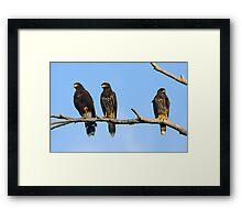 Harris Hawks Framed Print