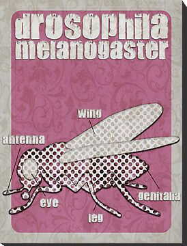 Drosophila melanogaster... by buyart