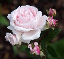 Pink Blush by Lynn Gedeon