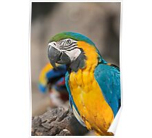ara ararauna parrot on its perch Poster